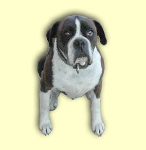 Keiser, the Stud Boxer --- passed away --- Rest in peace